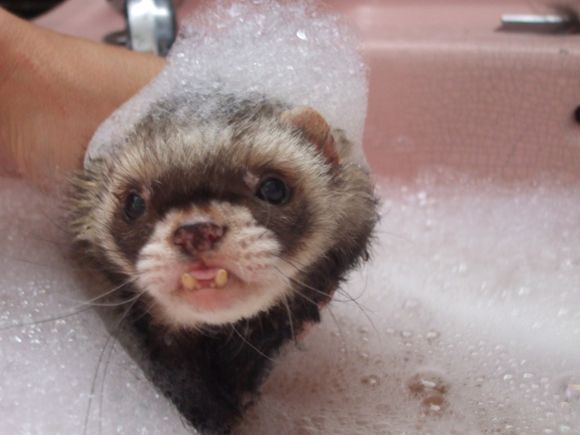 ferret face wallpaper background - photo #47